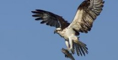 All About Ospreys – How They Differ From Hawks?