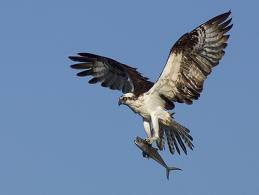 Osprey Flying with a Fish in its Claws Image