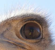 Ostrich Eye Close-up Image