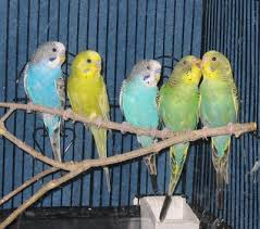 Group of Parakeet on a Branch Image