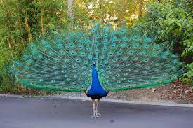 Peacock with Spread Feathers Image