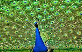 Peacock Displaying its Feathers Image