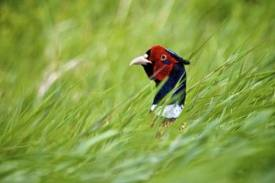 A Pheasant Hiding in the Grasslands Image