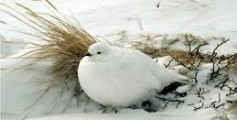 All About Ptarmigans – The Color Changing Arctic Birds
