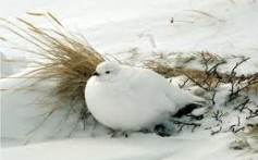 Facts About Ptarmigans – The Color Changing Arctic Birds