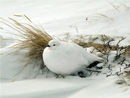 White Ptarmigan in the Snow Image