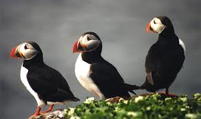 Puffin Sea Bird Image - Science for Kids All About Sea Birds