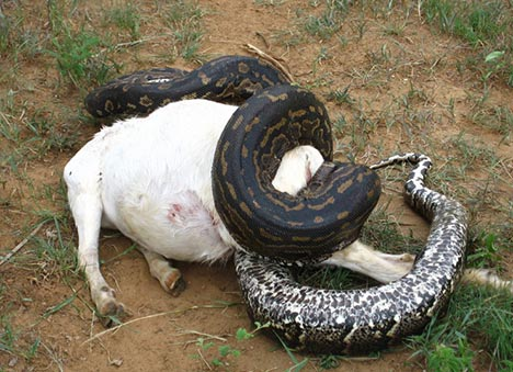 Python Eating a Pig Image