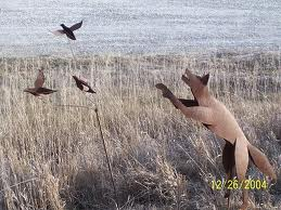 Quails Flying Away from a Fox Image