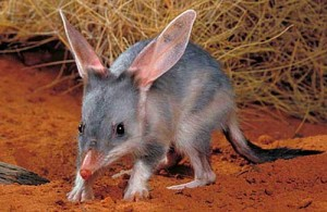 Rabbit-Eared Bandicoot Image