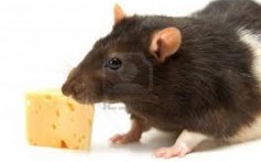 All About Rats and Their Different Types