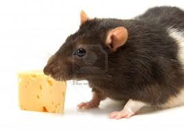 Rat Eating Cheese Image - Science for Kids All About Rats