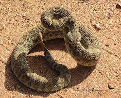Rattlesnake About to Strike Image