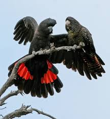 Two Red-tailed Black Cockatoo on a Tree Image