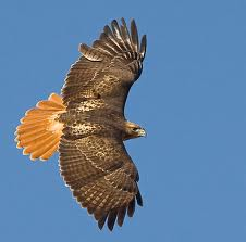 Red-tailed Hawk Flying Image