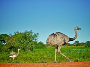 Rheas Walking Around Image