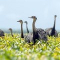 flock-of-rheas image