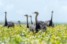 A Flock of Rheas Image