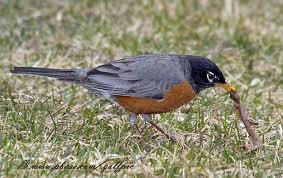 A Robin Eating a Worm from the Grass Image
