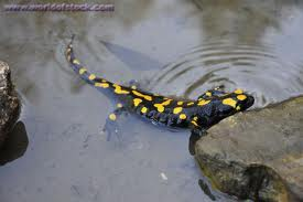 A Salamander in Water Image - All About Salamanders and Newts Facts for Kids