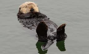 A Sleeping Sea Otter Floating on its Back Image