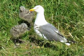 A Seagull with its Babies Image