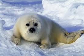 White Water Mammal Seal on Ice Image - All About Water Mammals Facts for Kids