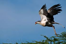 Secretary Bird Flying Image