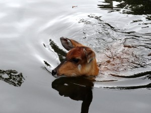 Sitatunga Swimming Image