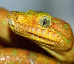 Snake Eye Close Up Image