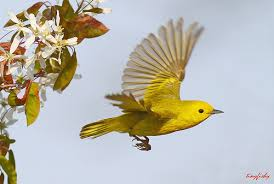 A Yellow Songbird Flying Image