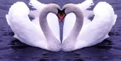 All About Swans – What is Swan Song?