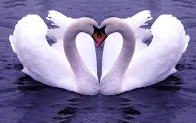 Swans – Mum and Dad Stay Together for Life