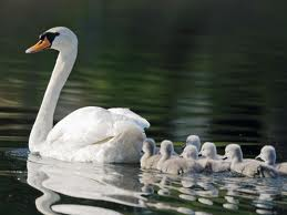 Swan Swimming with its Babies Image - Science for Kids All About Swans
