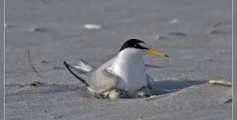 All About Terns and Their Lifestyle