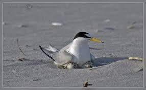 Terns and Their Lifestyle