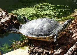 Terrapin on Land Image