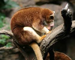 Tree Kangaroo Eating Image