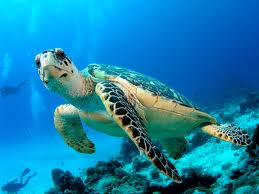 A Turtle Swimming Image