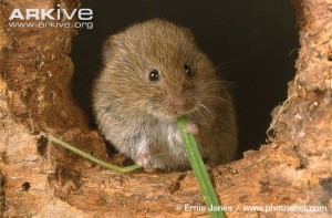 Vole Eating a Plant Image