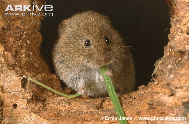 Voles – Download Free Science Worksheet Printables for 1st Grade Kids