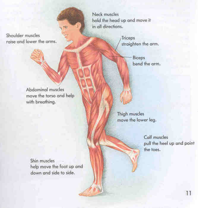 Human Body Muscles Activity Sheet For Free Printable Science
