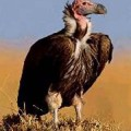 vulture-standing image