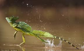 Green basilisk Lizard Walking on Water Image
