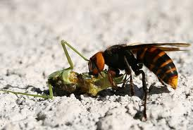 Wasp Eating a Grasshopper