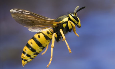 Close-up of a Wasp Image - Science for Kids All About Wasps