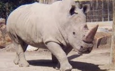 All About Rhinos – What Are Five Types of Rhinos?