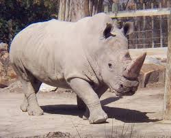 White Rhino Walking Image