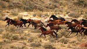Running Herd of Wild Horses Image