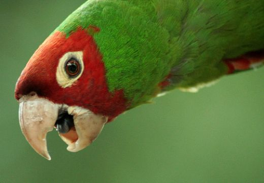 Close Up of a Wild Parrot Image